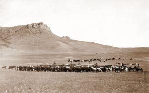 Montana cattle